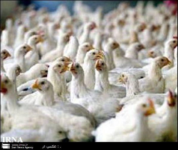 پرورش مرغ سبز در رفسنجان