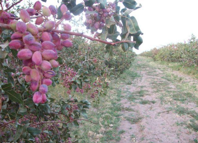 کشاورزانی که باید جورکم کاری کارشناسان مسئول کشاورزی کشور رابدوش بکشند!
