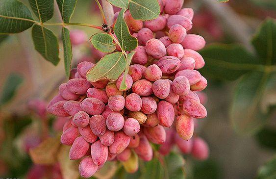 شکوفه هایی که اگر بریزند دیگر پسته نداریم