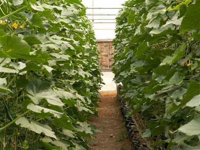 اولین گلخانه هیدروپونیک در منطقه نوق رفسنجان به بهره برداری رسید