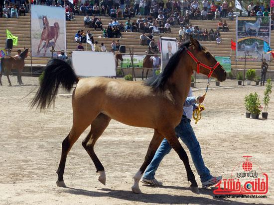 مسابقات زیبایی اسبان اصیل بومی فلات ایران- رفسنجان (12)
