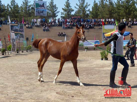 مسابقات زیبایی اسبان اصیل بومی فلات ایران- رفسنجان (2)
