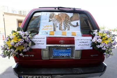 یوزپلنگ ایرانی روی ماشین عروس+عکس
