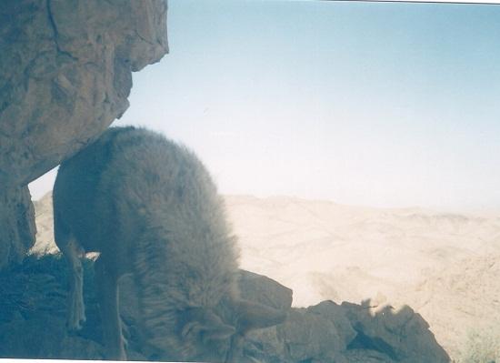 مشاهده چند گونه ی حیوانی در منطقه قرق منصورآباد رفسنجان + عکس