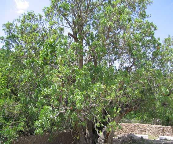 کهنسال ترین درخت پسته ایران در رفسنجان نیازمند توجه مسئولین