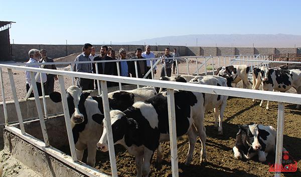 افتتاح جایگاه پرورش گوساله در جاده خنامان رفسنجان +عکس