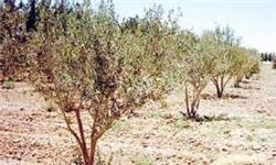 3 هزار هکتار باغ در رفسنجان به دلیل کمآبی رها شده است