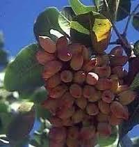 محصول پسته در رفسنجان نسبت به سال گذشته دو برابر شده است