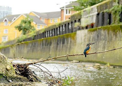 عکس/پرندهای زیبا که در فاضلاب زندگی میکند