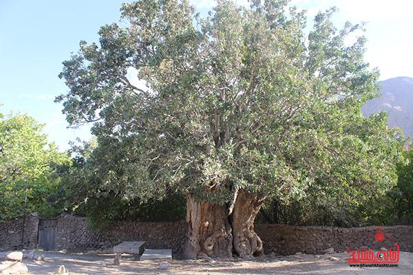 نماینده میراث فرهنگی رفسنجان نسبت به ثبت درخت کهنسال پسته اودرج اقدام کند
