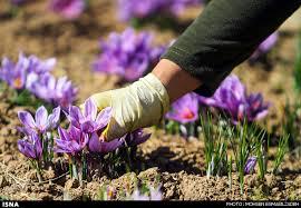 آغاز برداشت زعفران در شهرستان رفسنجان