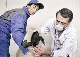 خدمات رایگان دامپزشکی در رفسنجان ارائه می شود