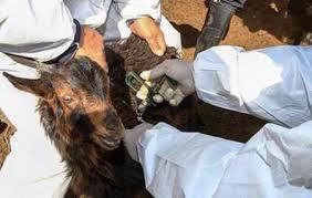 ۸ هزار رأس دام در ایام الله دهه فجر به طور رایگان واکسینه شدند