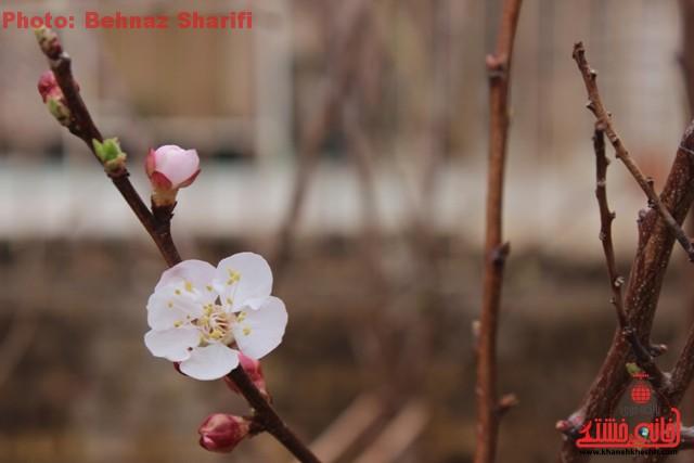 تصاویری از شکوفه های بهاری در رفسنجان