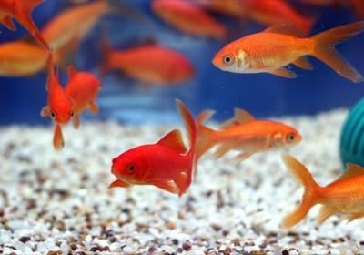 نکاتی که درخصوص خرید و نگهداری ماهی قرمز بایستی رعایت گردد