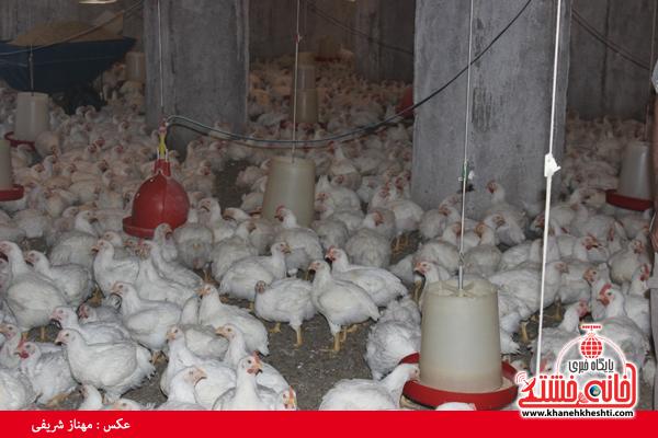 کارگاه پرورش مرغ در رفسنجان راه اندازی شد