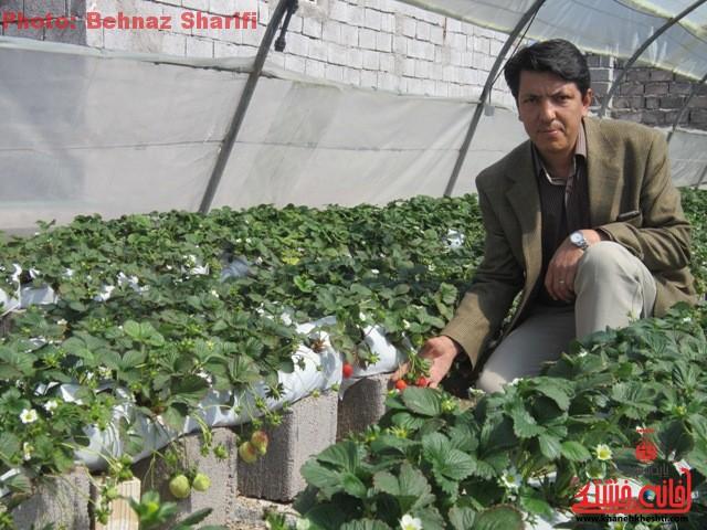 کشت توت فرنگی به روش هیدروپونیک در گلخانه شهرداری برای اولین بار در رفسنجان+عکس