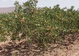 کاهش دما و یخ زدگی به بیش از ۵۱ هزار هکتار محصول بادام و پسته رفسنجان خسارت وارد کرد