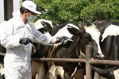 ۲۱ رأس دام درگیر بیماری تب مالت در شهرستان رفسنجان شناسایی شد
