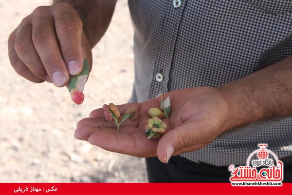 درخت کهنسال-ناصریه-رفسنجان-خانه خشتی (۱۰)