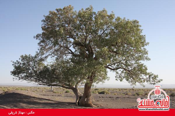 درخت کهنسال-ناصریه-رفسنجان-خانه خشتی (۱۴)