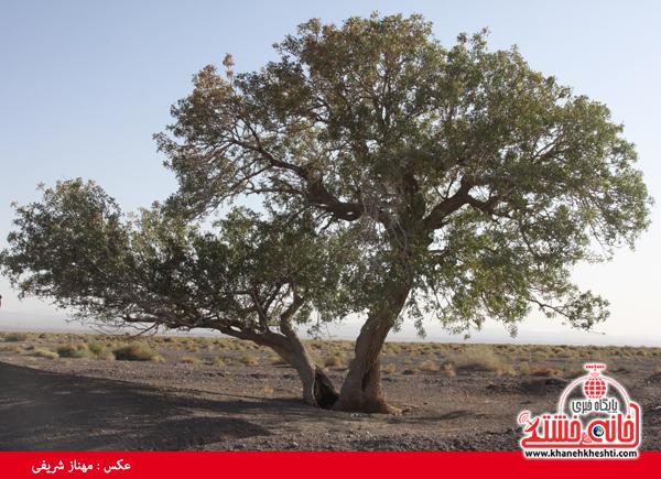درخت آرزوهای رفسنجان در انتظار توجه میراث فرهنگی + عکس
