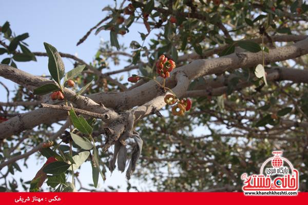 درخت کهنسال-ناصریه-رفسنجان-خانه خشتی (۸)