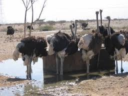 تولید و پرورش شترمرغ در رفسنجان