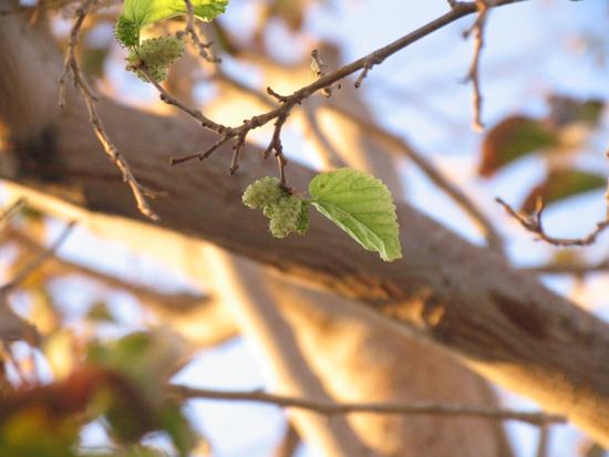 رویش دوباره درخت توت خشکیده در رفسنجان