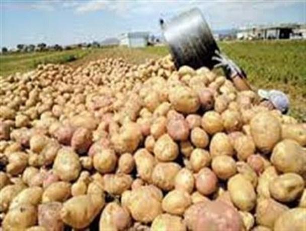 فرمان دفن سیبزمینیها را چه کسی صادر کرد؟/صرف ۳۵۷۰۰۰۰ لیتر آب برای تولید ۱۷۰۰تن سیبزمینی مدفون