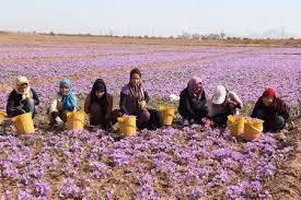 برداشت بیش از ۴۰ کیلوگرم زعفران از مزارع شهرستان رفسنجان