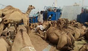 کشف ۱۵ نفر شتر قاچاق به ارزش ۹۰۰ نهصد میلیون ریال در رفسنجان