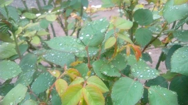 اولین باران بهاری در رفسنجان / بارش تا پایان وقت امروز ادامه دارد