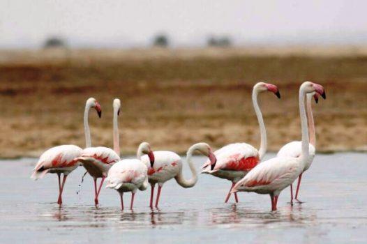 پرنده های مهاجر_دریاچه شور رفسنجان
