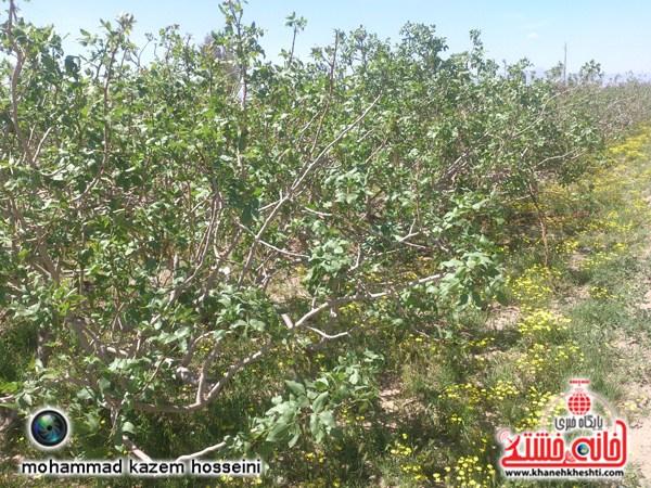 تصاویری از طبیعت باغات پسته رفسنجان در فصل بهار