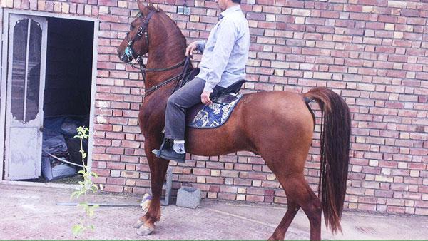 اسب های مجلسی پسند در رفسنجان