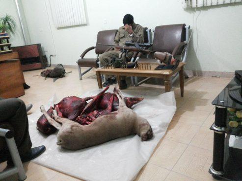 شکارچی غیر مجاز قوچ های وحشی در رفسنجان دستگیر شد / عکس