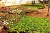 آغاز کاشت بیش از ۷ میلیون نشاء زمستانه در نهالستان شهرداری رفسنجان