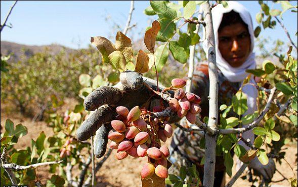 آغاز برداشت دست رنج یک ساله کشاورزان رفسنجانی و باز هم حرف های شعارگونه