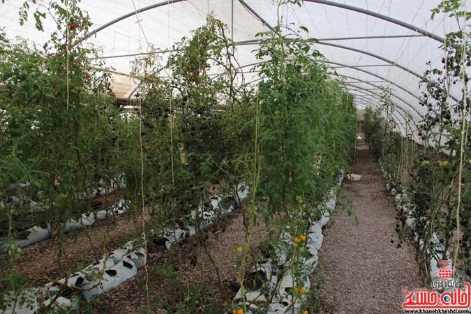 بازدید مسئولین از گلخانه کفائی رفسنجان