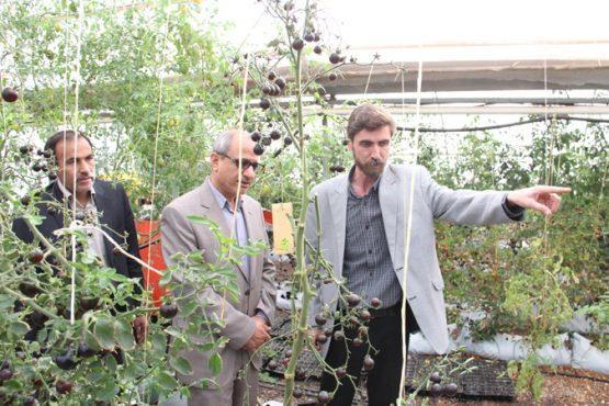 بازدید مسئولین از گلخانه کفائی رفسنجان / تصاویر