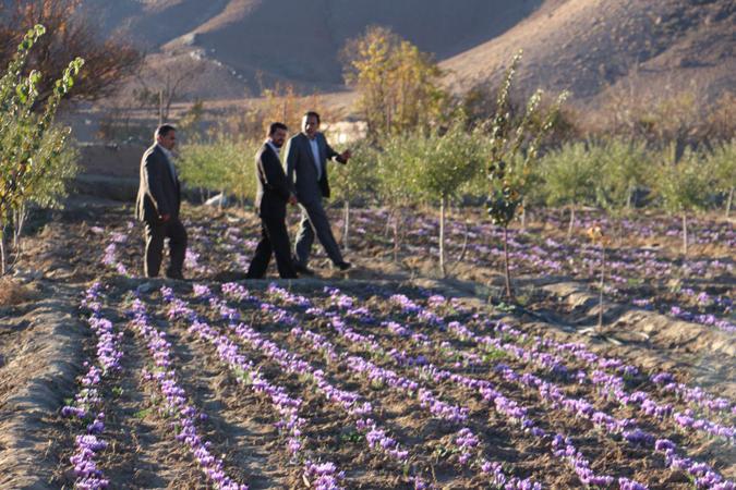بازدید فرماندار رفسنجان از روند برداشت زعفران در خنامان