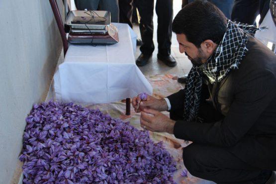 بازدید فرماندار رفسنجان از روند برداشت زعفران در خنامان / تصاویر
