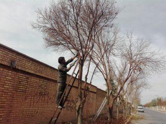 آغاز هرس زمستانه درختان سطح شهر رفسنجان