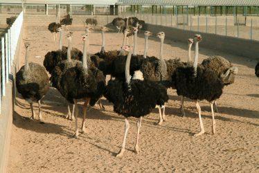 اقتصاد مقاومتی با پرورش شتر مرغ در رفسنجان