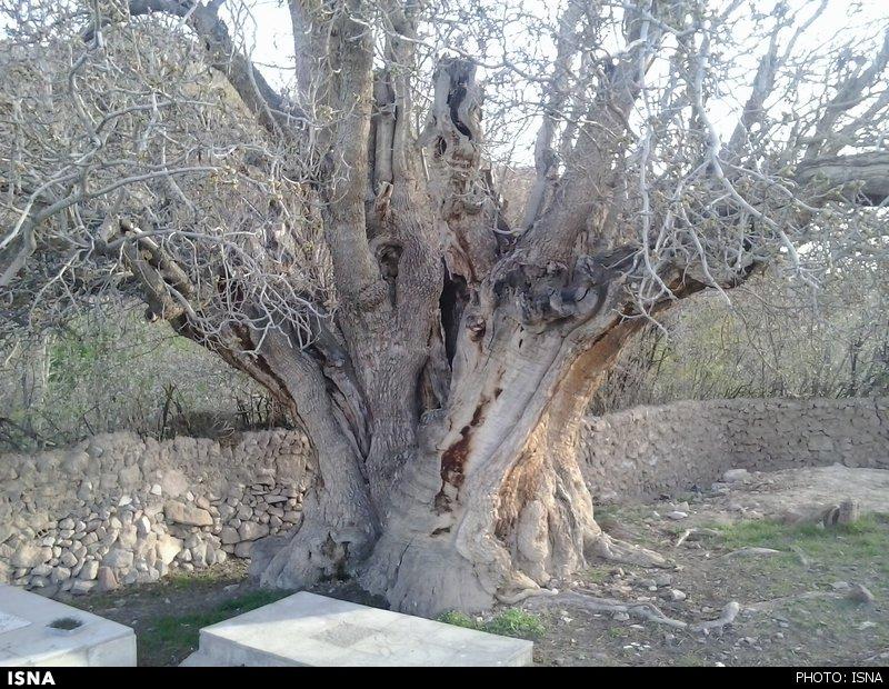 درخت پسته اودرج
