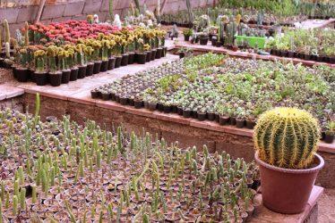 عرضه بیش از ۳۰۰ نوع کاکتوس در نهالستان شهرداری رفسنجان