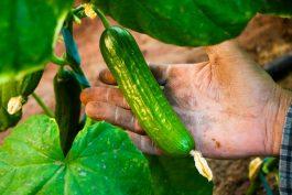 موفقیت کشاورز رفسنجانی در برداشت محصول باکیفیت از آب شور