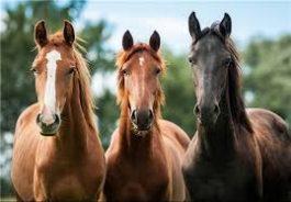 احتمال شیوع بیماری رینوپنومونی در اسب داریهای رفسنجان