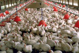 بی تدبیری که هزاران مرغ در رفسنجان را در آستانه تلف شدن قرار داده است